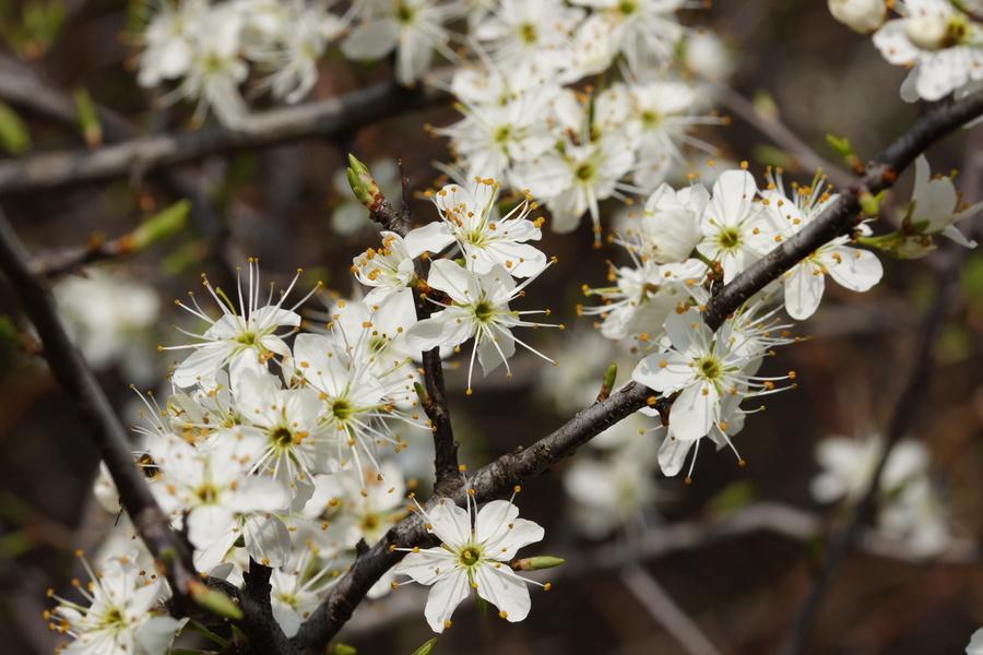 Črni trn (Prunus spinosa), vznožje Nanosa, 2014-04-06 (Foto: Benjamin Zwittnig)