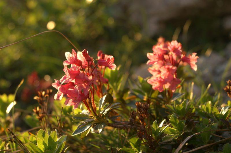 Dlakavi sleč (Rhododendron hirsutum), Kamniško sedlo, 2007-07-08 (Foto: Benjamin Zwittnig)