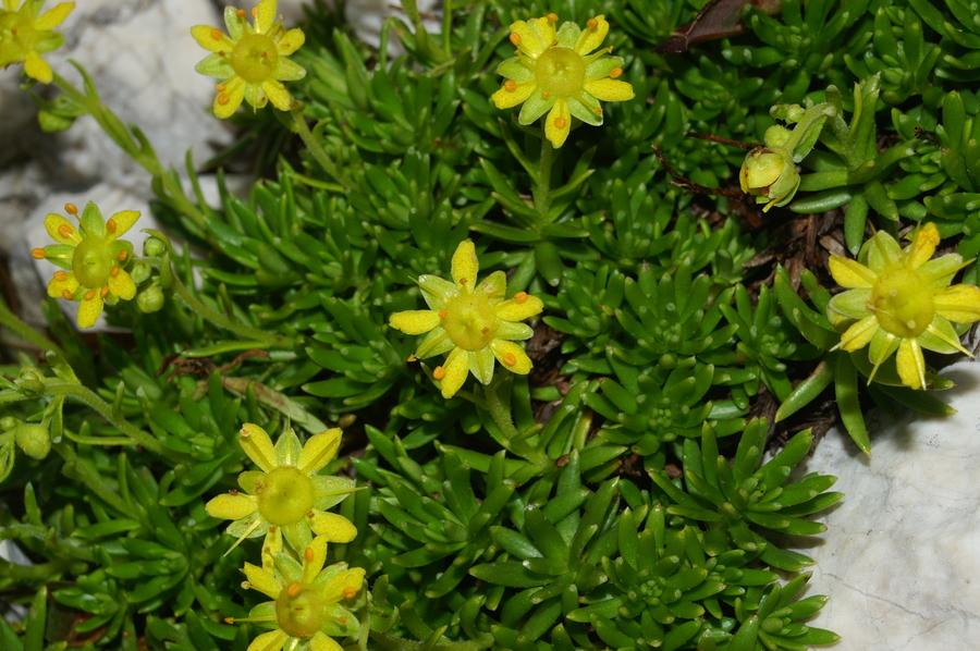 Vednozeleni kamnokreč (<i>Saxifraga aizoides</i>), Pod Rjavino, 2006-09-01 (Foto: Benjamin Zwittnig)