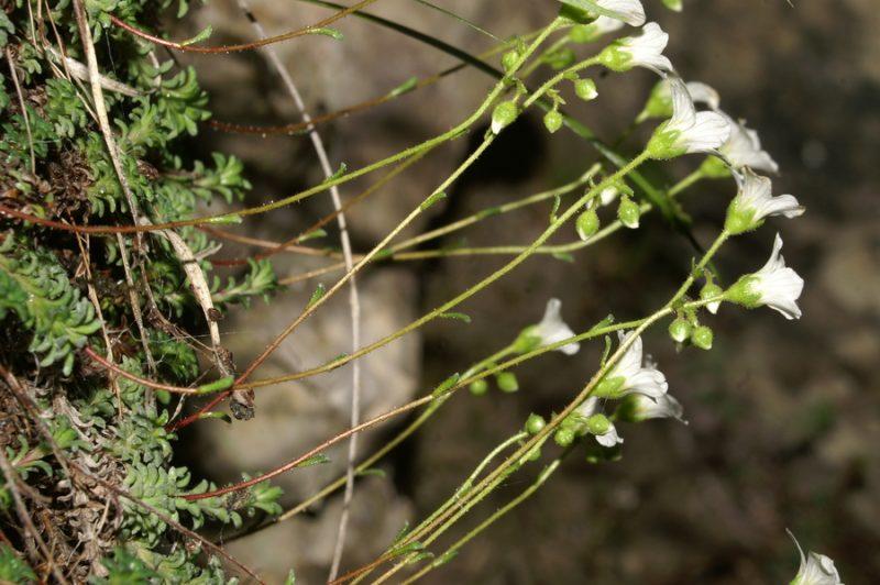 Sinjezeleni kamnokreč (Saxifraga caesia), Kamniški vrh - Korošaški slapovi, 2007-06-13 (Foto: Benjamin Zwittnig)