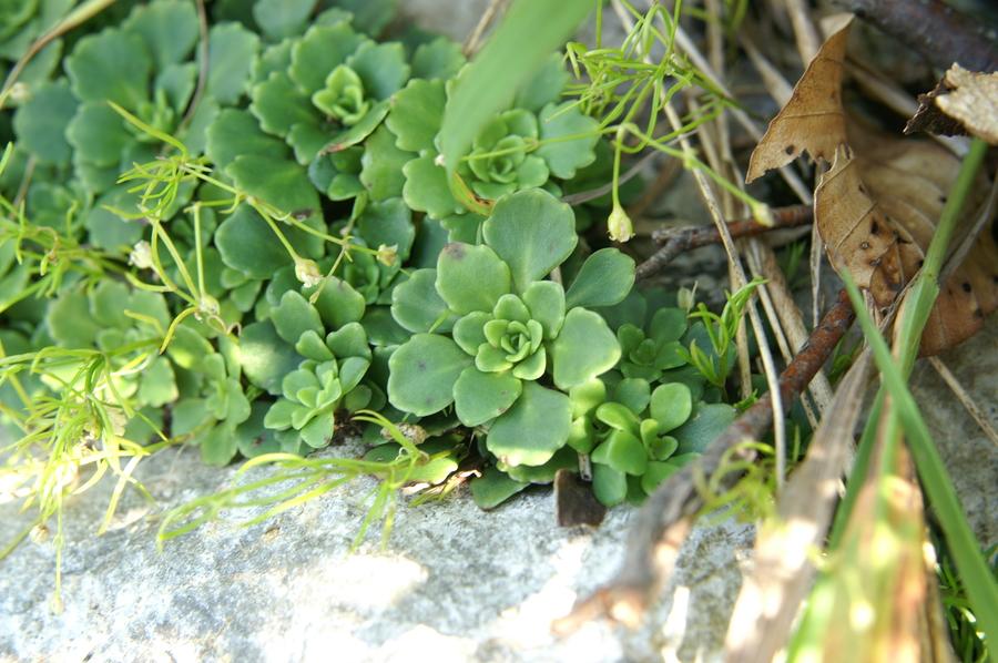 Klinolistni kamnokreč (<i>Saxifraga cuneifolia</i>), Svinjak, 2009-07-20 (Foto: Benjamin Zwittnig)