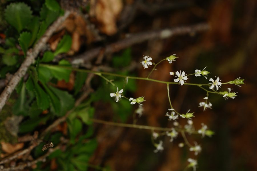 Klinolistni kamnokreč (Saxifraga cuneifolia), Ljublelj - Prevala, 2014-06-11 (Foto: Benjamin Zwittnig)