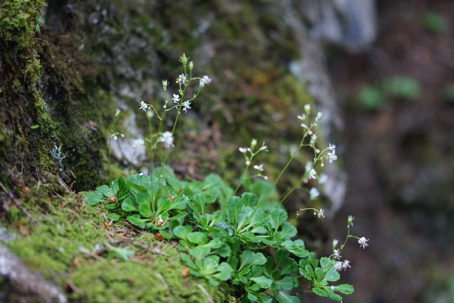 Klinolistni kamnokreč (<i>Saxifraga cuneifolia</i>), Rudno polje – Lipanca, 2015-06-14 (Foto: Benjamin Zwittnig)