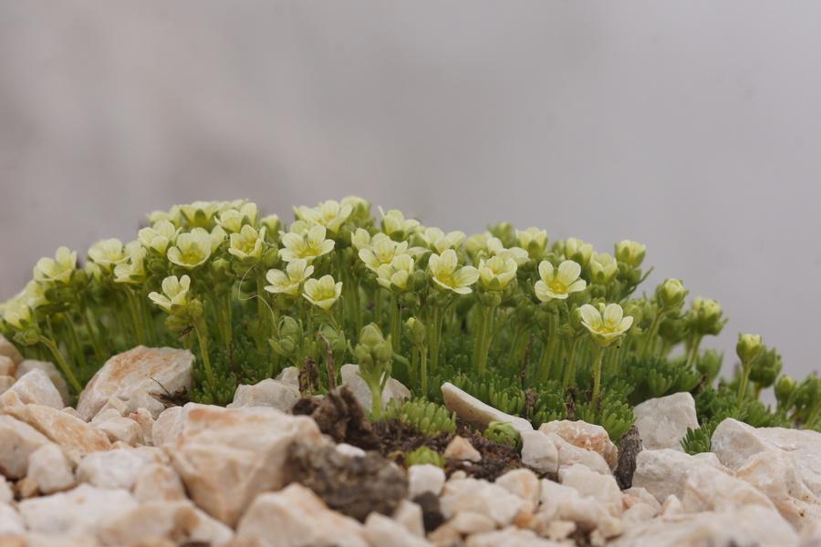 Kranjski kamnokreč (<i>Saxifraga exarata ssp. carniolica</i>), Grintovec, 2015-06-13 (Foto: Benjamin Zwittnig)