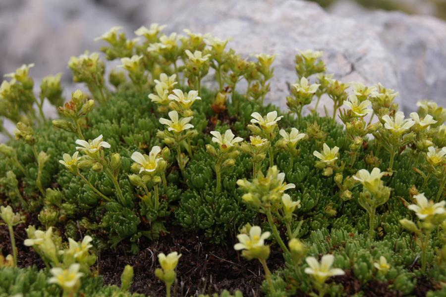 Kranjski kamnokreč (<i>Saxifraga exarata ssp. carniolica</i>), Kokrško sedlo – Grintavec, 2016-07-02 (Foto: Benjamin Zwittnig)