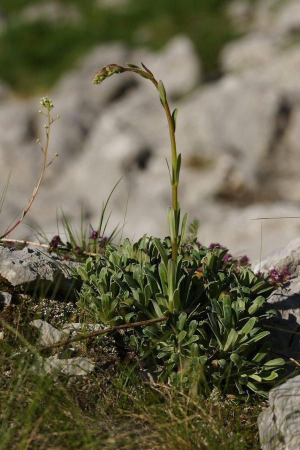 Hostov kamnokreč (Saxifraga hostii), nad planino Gozdec (Kanin), 2018-06-20 (Foto: Benjamin Zwittnig)