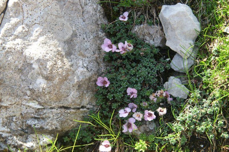 Nasprotnolistni kamnokreč (Saxifraga oppositifolia), melišče pod Veliko Martuljško Ponco, 2010-07-11 (Foto: Benjamin Zwittnig)