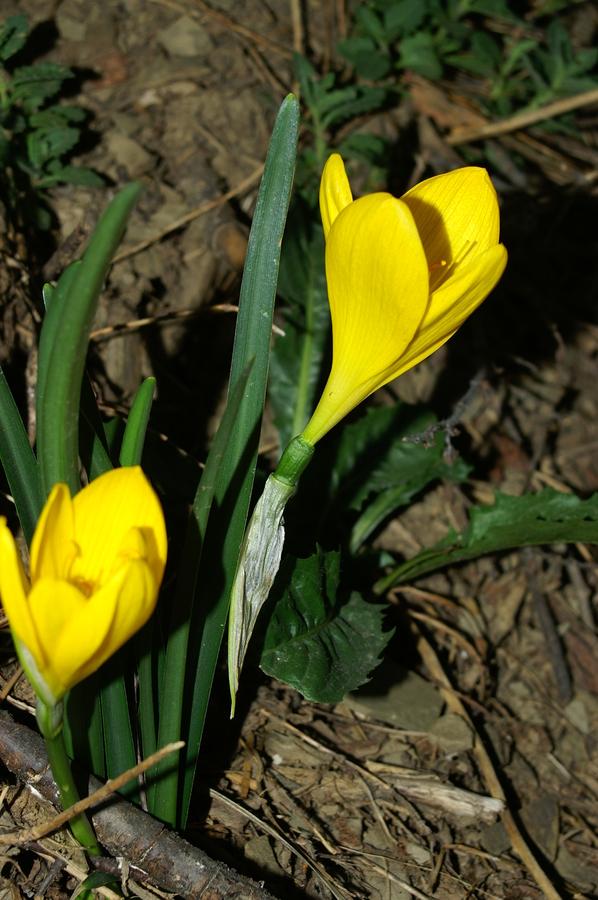Rumena šternbergija (Sternbergia lutea), Podnanos, 2006-09-24 (Foto: Benjamin Zwittnig)