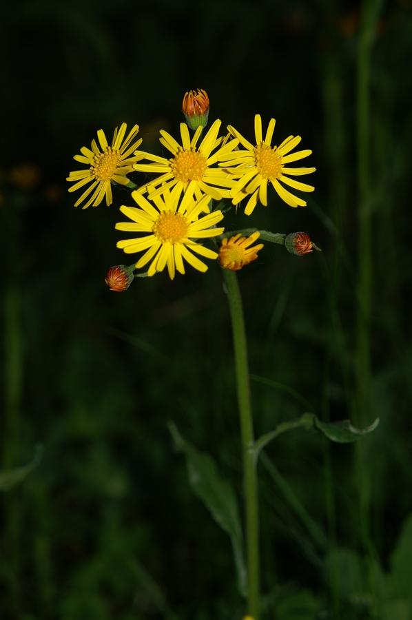 Obirska sivica (<i>Tephroseris longifolia</i>), Šmarna gora, 2009-05-05 (Foto: Benjamin Zwittnig)