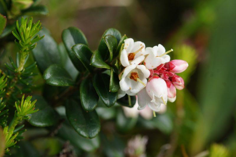 Brusnica (Vaccinium vitis-idaea), Krnica (pod Špikom), 2015-05-27 (Foto: Benjamin Zwittnig)