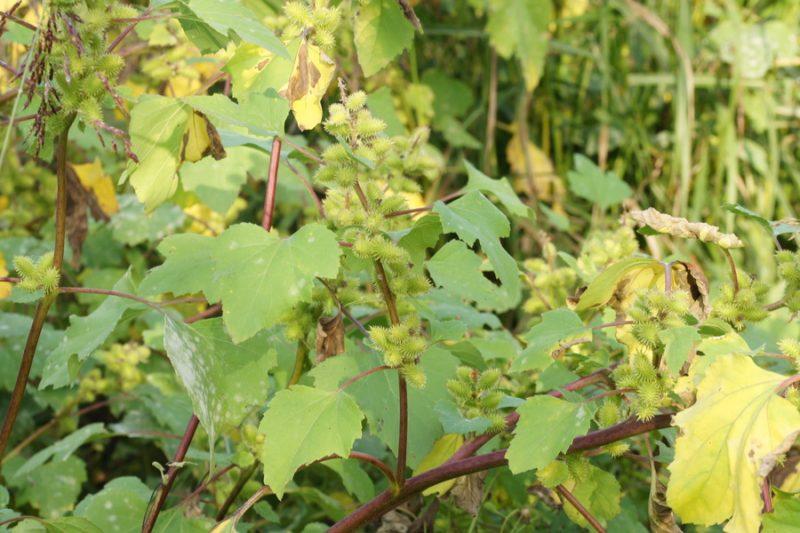 Laški bodič (Xanthium italicum), Strunjan, 2014-10-04 (Foto: Benjamin Zwittnig)
