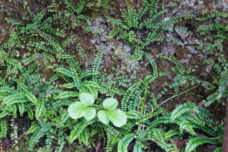 Rjavi sršaj (Asplenium trichomanes), Jakšiči, 2020-05-17 (Foto: Benjamin Zwittnig)