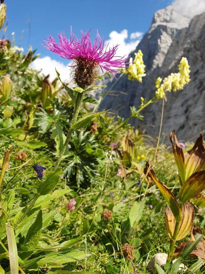 Peresasti glavinec (<i>Centaurea uniflora ssp. nervosa</i>), Bovški gamsovec, 2019-08-17 (Foto: Benjamin Zwittnig)