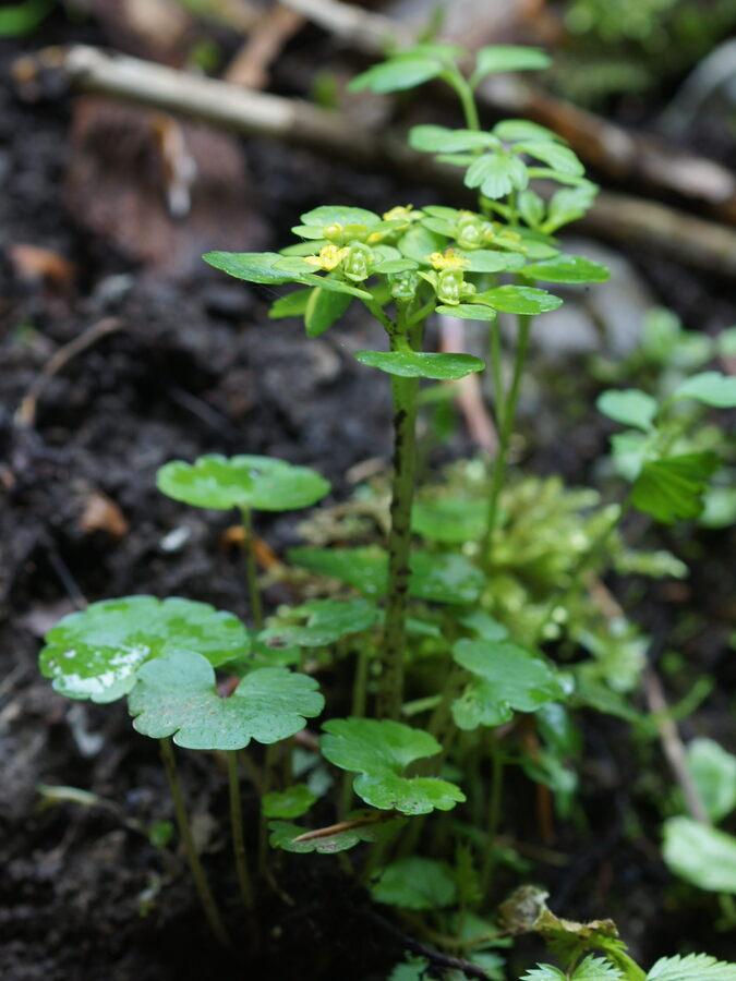 Spiralastolistni vraničnik (<i>Chrysosplenium alternifolium</i>), Rakov Škocjan, 2019-05-03 (Foto: Benjamin Zwittnig)