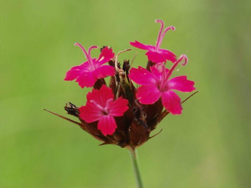 Krvavordeči klinček (Dianthus sanguineus), 2020-05-31 (Foto: Benjamin Zwittnig)