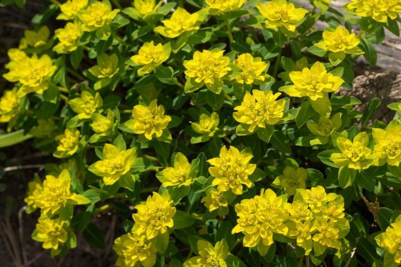 Bradavičasti mleček (Euphorbia verrucosa), Polhograjska grmada, 2020-05-02 (Foto: Benjamin Zwittnig)