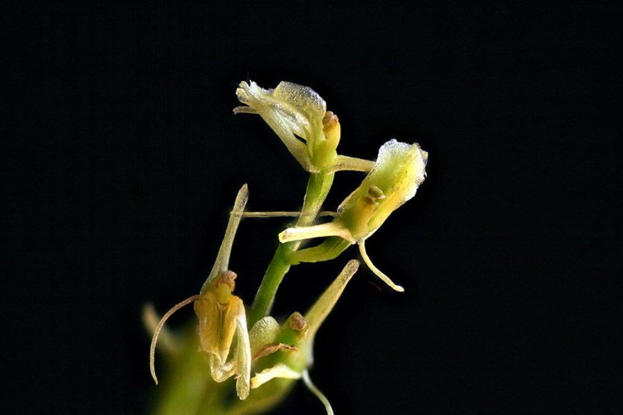 Loeselova grezovka (<i>Liparis loeselii</i>), Trzin, 2010-06-13 (Foto: Jure Slatner)