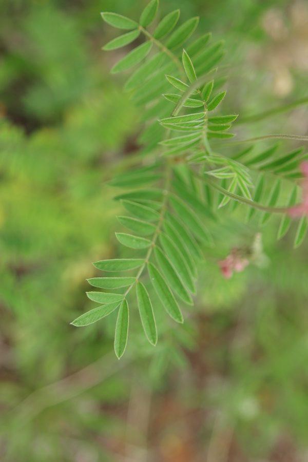 Navadna turška detelja (<i>Onobrychis viciifolia</i>), Štorje, 2020-05-31 (Foto: Benjamin Zwittnig)