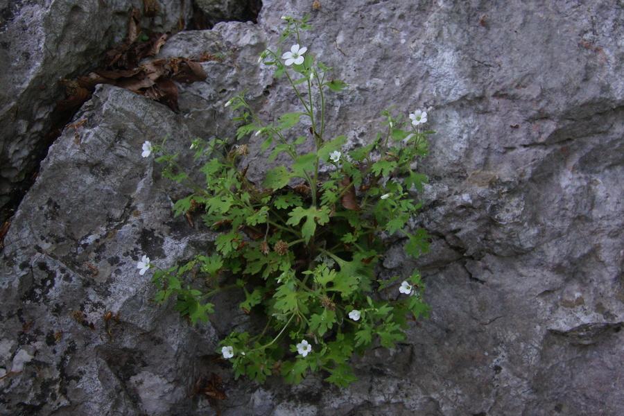 Skalni kamnokreč (<i>Saxifraga petraea</i>), Čolnišče, 2011-05-07 (Foto: Benjamin Zwittnig)