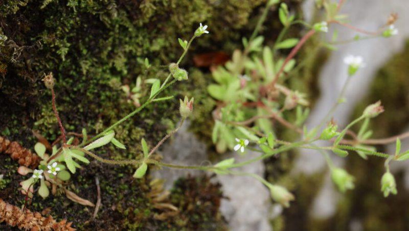 Triprsti kamnokreč (Saxifraga tridactylites), vrh Kuželjske stene, 2020-06-07 (Foto: Benjamin Zwittnig)